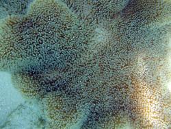 4531   stinging coral