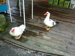 4783   wild ducks