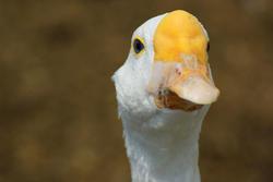 4998   wild goose