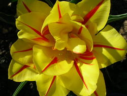 4502   yellow fancy tulip