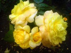 4488   yellow rose
