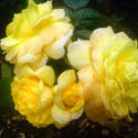 4488   yellow rose