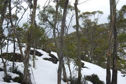 5873   winter gum trees