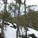 5873   winter gum trees