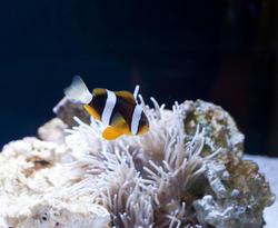 7391   Colourful anemonefish