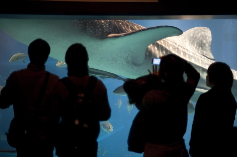 Tourists standing at a viewing window in a commercial marine aquarium watching a whale shark swim past