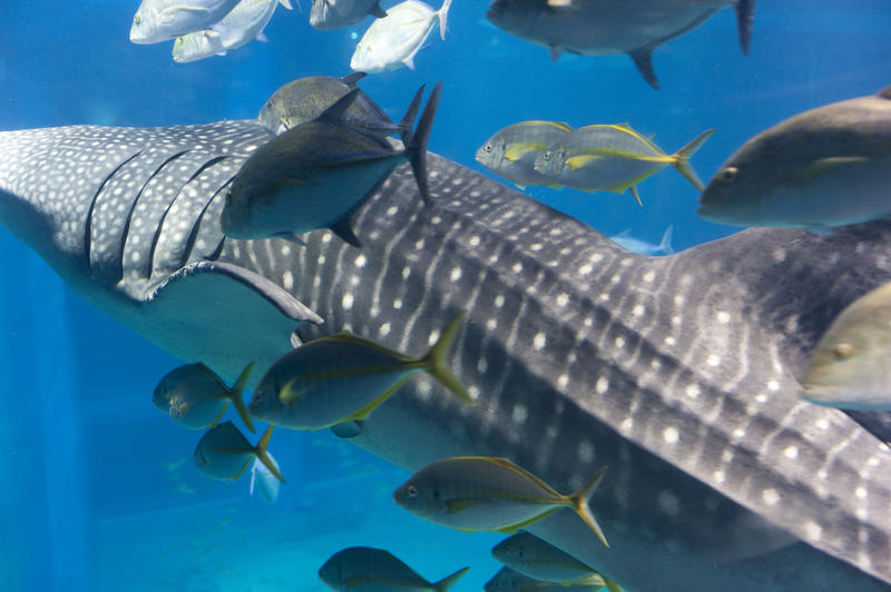 Closeup view of a large whale shark swimming underwater in an aquarium filter-feeding on plankton accompanied by smaller fish with a clear view of the gills through which ingested water is expelled