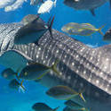 7393   Whale shark feeding