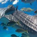 7393   Whale shark feeding