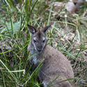 6392   Wallaby in grass