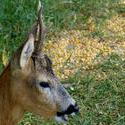 7631   Baby Deer