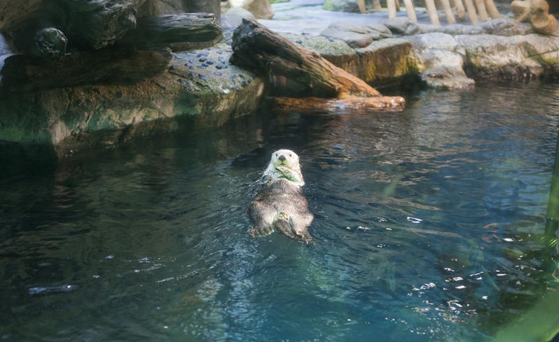 A captive otter floating on his back in an aquarium