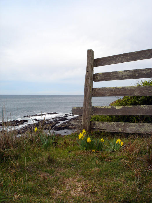 an old wooden fence on a coastal headland with wild daffodils and gass