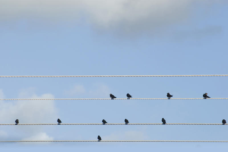 Flock of birds perched on electric cables resting and grooming, seen in silhouette against a clear blue sky with copyspace