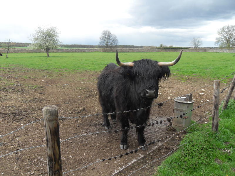 <p>Black Highland Cattle seen in a field in Germany,</p>