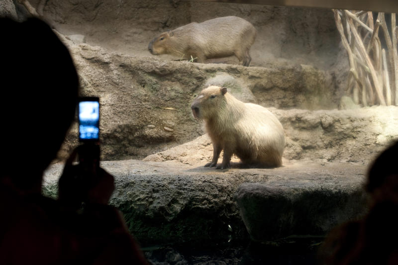 Man photographing a captive Capybara, the largest rodent in the world