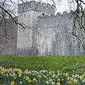 7558   Daffodils in the garden at Cardiff Castle