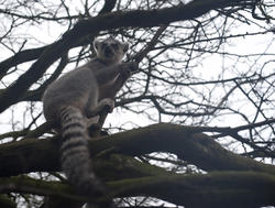 6369   Ring tailed lemur in a tree