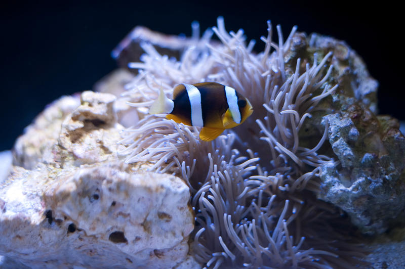 Anemonefish with a sea anemone with which it has a symbiotic mutualism sheltering amongst its poisonous tentacles in return for eating harmful invertebrates and enriching its diet with fecal matter