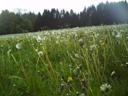 5241   dandelion field