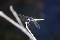 6371   Insectivorous dragonfly on twig