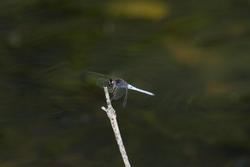 6395   Darter dragonfly on a twig