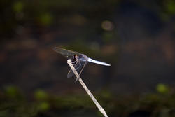6372   Dragonfly perched on a twig in sunshine