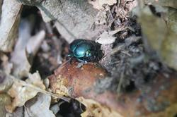 6421   dung beetle