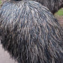 6344   Detail of the plumage of an emu