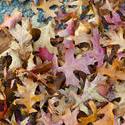 5165   Dry fallen leaves