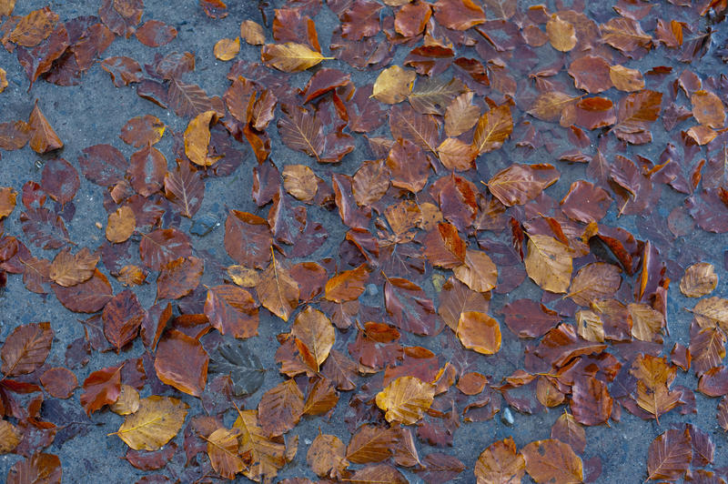 Fallen brown dead autumn or fall leaves scattered in a shallow puddle of water a reminder of the passing seasons.