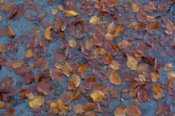 5168   Autumn Leaves In Water