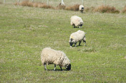 6373   Flock of sheep grazing in a pasture
