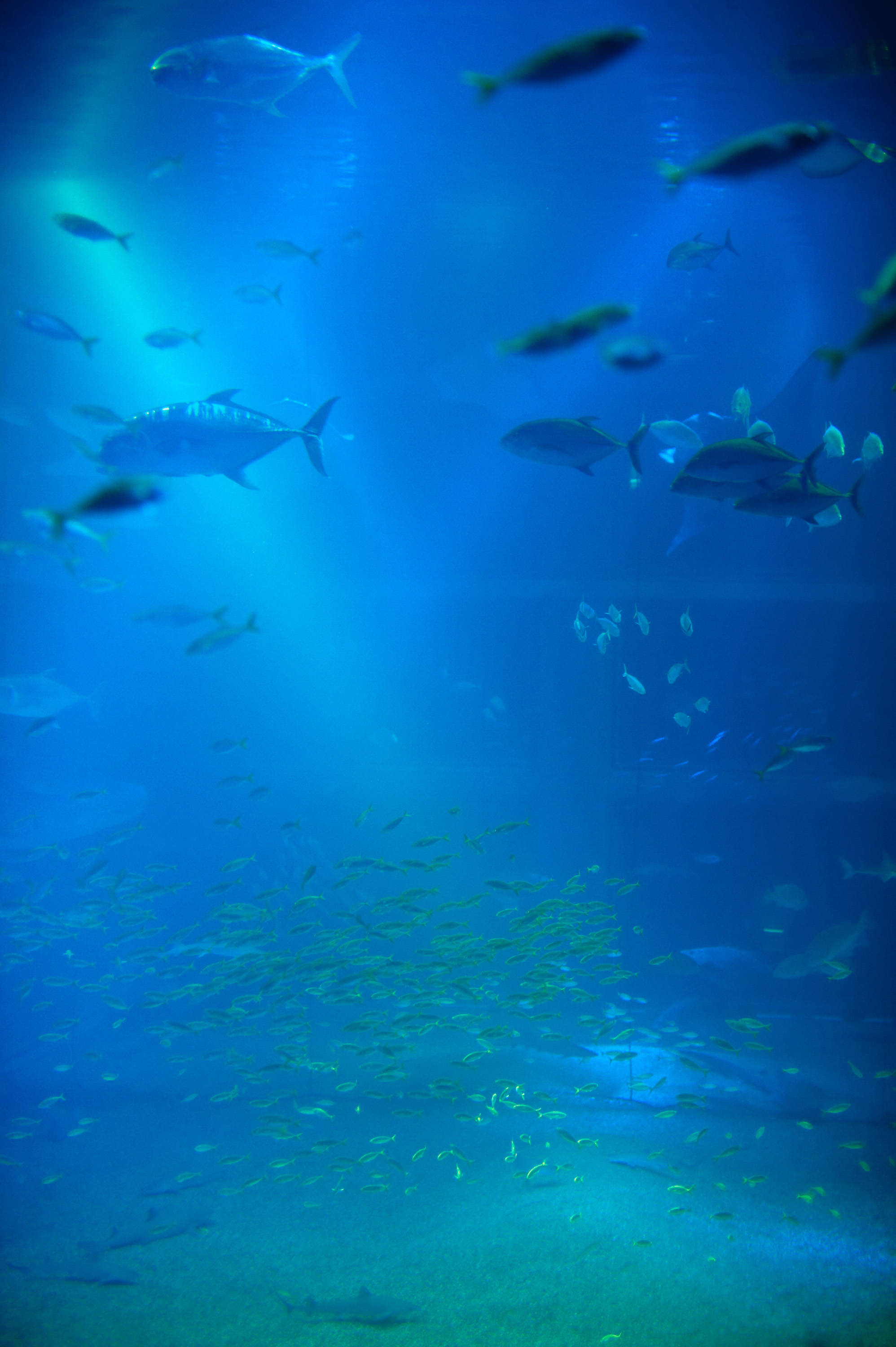 Fish in tank swimming - Background Of A Large Marine Aquarium Tank With Shoals Of Fish Swimming Through The Blue Water