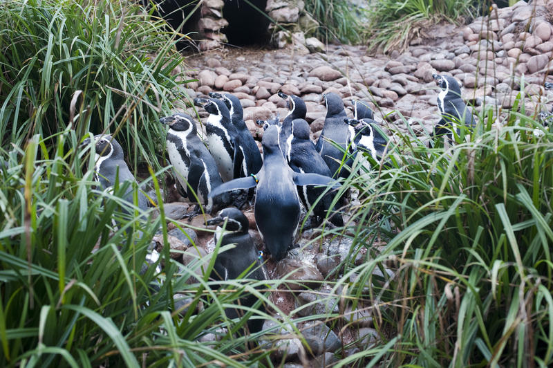 Rear view of a group of humbolt penguins walking across pebbles to a pond surrounded by patches of long green grass
