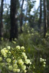 5857   flowering wattle