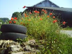 5141   france barn poppies