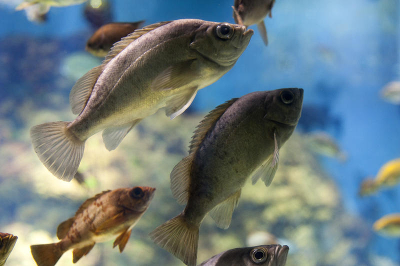 Closeup on a variety of different fish swimming underwater in a freshwater aquarium showing the natural biodiversity