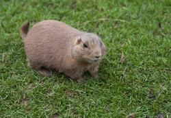 6375   Fat brown guinea pig