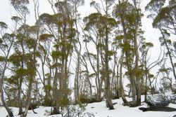 5863   gum trees