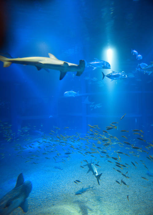 Hammerhead shark swimming underwater in a marine aquarium with a diversity of other smaller fish swimming below