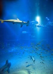 7422   Hammerhead shark swimming underwater