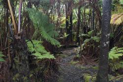 5518   hawaiian rainforest