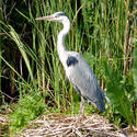 5934   heron on nest koog aan de zaan 2009