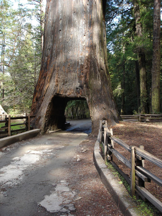 a giant redwood sequoia tree with a hole cut through, big enough to fit a car