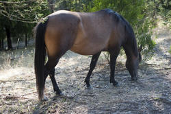 6399   Brown mare grazing