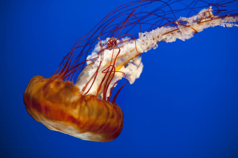 Closeup of a swimming jellyfish showing the lappets surrounding the bell and the long trailing arms and poisonous tentacles