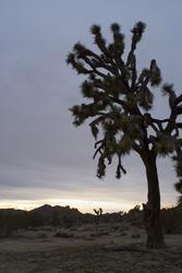 5644   silhouette joshua tree