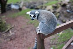 6404   Ring tailed lemur closeup