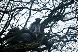 6381   Ring tailed lemur in a tree
